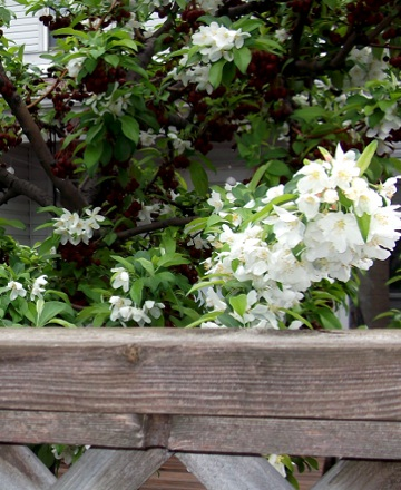 Crab Apple Blossoms - my neighbour's tree is a cloud of pretty flowers!  (My other neighbour's tree, which is a pear whose branches overhang my yard - not that I'm paying attention or anything - is also blooming, although not quite as boisterously as this one, so you're getting this picture for The Pretty).