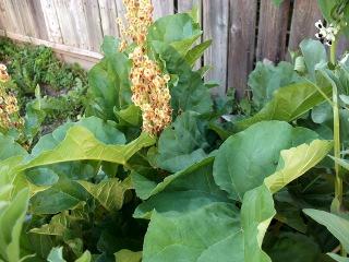 Rhubarb (gone to seed)