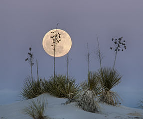 A full moon rising huge over tufts of dry grasses poking through the drifts.