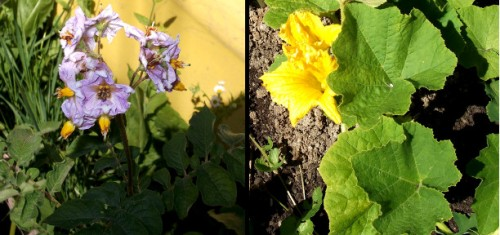 Left - Potato blossoms. Right - Buttercup squash blossoms.