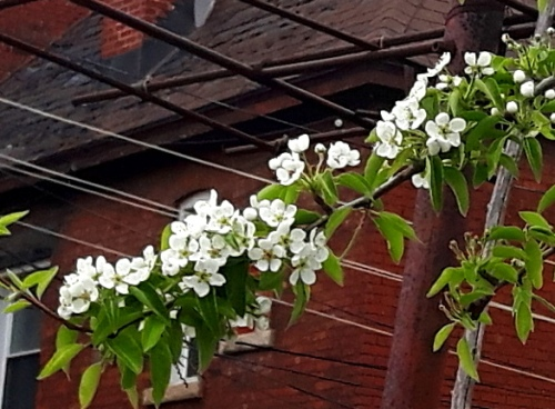 Pear blossoms in bloom. White flowers, green leaves, red brick in the background