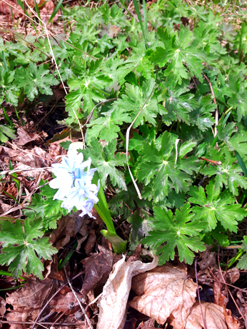 White grape hyacinth blooming amid green crane's bill and last year's dry leaves