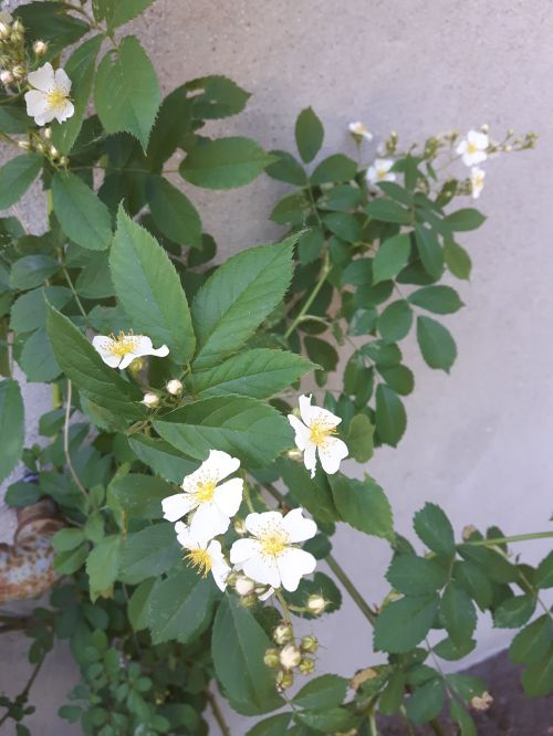 Tiny white climbing roses with simple, five-petal blossoms and yellow centers